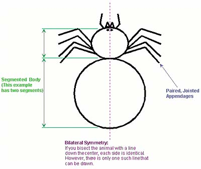 Arthropod Diagram
